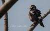 Pied Starling (Gracupica contra) (Imthyas Ahmed Shirajee) Tags: bird nature birds photography nikon university photographer wildlife photographers delta starling east pied ahmed ctg bangladesh contra vr bangla birdwatcher chittagong 70300 d90 imti pakhi gracupicacontra gracupica birdsofbangladesh chattagram imthyas shirajee mehidibag piedstarlinggracupicacontra