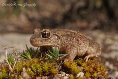 Alytes cisternasii (David Herrero Glez.) Tags: madrid egg amphibian frog toad sapo herp herpetology anfibio batracian partero anuro anure alytes obstetricans cisternasii muletensis
