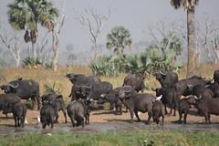 Cape Buffalo (annie in alba) Tags: