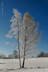 LONE SNOWY TREE (FRANCE, SAINT-LAURENT-EN-GRANDVAUX) (KAROLOS TRIVIZAS) Tags: white snow france tree field branches tracks foliage birch pugs betula betulaceae digitalcameraclub pugmarks saintlaurentengrandvaux blinkagain