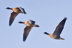 027020-IMG_2230 Pink-footed Geese (Anser brachyrhynchus) (ajmatthehiddenhouse) Tags: 2012 martinmere uk bird anserbrachyrhynchus pinkfootedgoose anser brachyrhynchus
