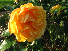 Warmer Days... (Dave Roberts3) Tags: flower macro rose yellow wales glamorgan amberqueen coth bej naturethroughthelens coth5 sunrays5