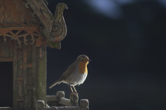 Roodborst - Robin, enjoying the late afternoon sun (dirk huijssoon) Tags: bird robin erithacusrubecula spirithouse roodborst
