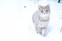 046 (piaktw) Tags: winter playing cat kitten sweden britishshorthair got luddkolts zigne bluetortiespotted