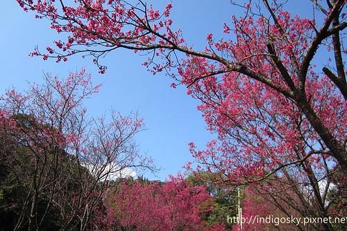北投賞櫻-IMG_8413