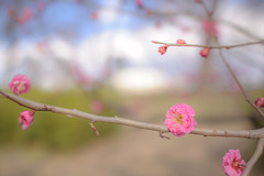[Explored] Ume - Japanese apricot 10 (TORO*) Tags: park pink blue white blur flower green japan ed japanese nikon bokeh explore apricot osaka 24mm nikkor afs f14g d3s