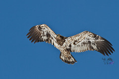 Young Bald Eagle (Daryl L. Hunter - The Hole Picture) Tags: usa unitedstates raptors jacksonhole birdsofprey eagleinflight grandtetonnationalpark immaturebaldeagle onthewing