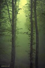 trees (MrmrPhoto.com) Tags: light tree green nature leaves fog leaf iran jungle ایران درخت مه جنگل برگ الیمستان