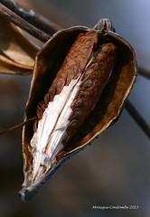 Sans titre (Monique Coulombe) Tags: nature hiver seeds commonmilkweed semences asclpiade floresauvageduqubec