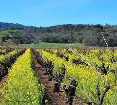 Vineyards (Aqua0646 (Pat)) Tags: vines mustard sonomacounty