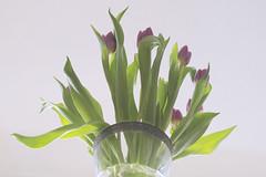 57/365 tulips above (SarahLaBu) Tags: tulips pov 365 day57 lowangle week8 2013 day57365 3652013 week8theme weekoffebruary19 2013yip 365the2013edition 52weeksthe2013edition 522013 26feb13
