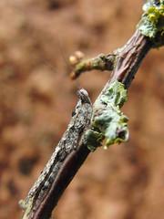 CIMG8489 (mantidboy) Tags: africa pet tree bug mantis insect tanzania hugging hug praying exotic sp bark lichen captive mimic 257 mantid preying bred tanzanian igm tarachodes