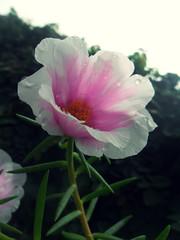 choveu (Leandro de Novais) Tags: flower nature natureza flor beleza beautifull