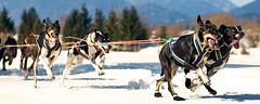 DSC_0074fl (sandra_s.) Tags: dog race sled wallgau 2013 nikond60 schlittenhunderennen nikkorafs50mmf18