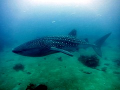 more of the whaleshark (dive-angel (Karin)) Tags: fish big whaleshark southernleyte walhai