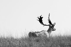 Wild stag EXPLORED 5/3/13 286 (T_J_G) Tags: park light black stag sunny deer crow sevenoaks canon70200f4l knowle lightbender canon7d tjgphotography