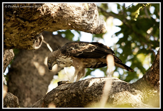 Crested Hawk-eagle / Changeable Hawk-Eagle