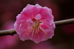 Kitano Tenman-gu () 13 (KyotoDreamTrips) Tags: japan kyoto ume  baikasai  kitanotenmangu umeblossomsfestival