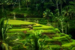 Dreaming Bali (scinta1) Tags: bali rice paddy green tropical lush indonesia ubud tegalalang tiers steps steep palms vista landscape valley growing terrace sawah