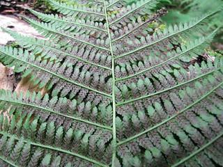 Athyrium filix-femina - Athyriaceae