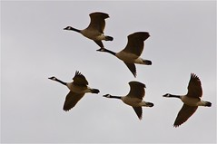 Flying Canada geese. (Idahoeyes) Tags: march spring raw goose idaho brantacanadensis canadageese wildgoose flyinggeese nikond90 sharonwatson