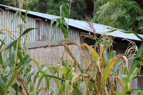 Corn grows beside a family home in Atauro.  Photo by Holly Holmes, 2013.