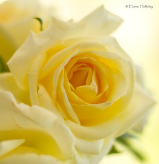 lemon surprise (loobyloo55) Tags: flowers flower rose yellow canon lemon flora fiore 50mmlens f18ii