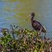 Glossy Ibis in Elm Lake