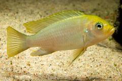 Cynotilapia afra 'Lion' Mara Rocks (n5k) Tags: fish aquarium fishtank malawi freshwater afra cynotilapia afmicronikkor60mmf28d nikond90 mararocks