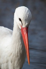 Weistorchportrait / Portrait of a White Stork (explored) (burnett0305 - Thanks for over 175.000 views!) Tags: bird birds canon bayern deutschland bavaria vgel stork storks vogel storch whitestork straubing ciconiiformes ciconiaciconia strche ausrstung canonef100400mmf4556lisusm ciconiidae weisstorch photosandcalendar schreitvgel natureselegantshots tiergartenstraubing panoramafotogrfico canoneos5dmarkiii mygearandme mygearandmepremium mygearandmebronze mygearandmesilver mygearandmegold flickrsportal mygearandmeplatinum mygearandmediamond photographyforrecreationeliteclub rememberthatmomentlevel1 rememberthatmomentlevel2 rememberthatmomentlevel3 stadtstraubing vigilantphotographersunite vpu2 vpu3 vpu4 vpu5 vpu6 vpu7 vpu8 vpu9 vpu10 photographyforrecreationclassic