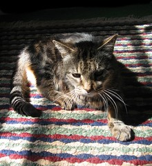 Paul, my sweet little three-legged cat (Hairlover) Tags: old pet cats pets cat kitten tabby kitty kittens kitties kittys oldcat threeleggedcat catcatskittykitties