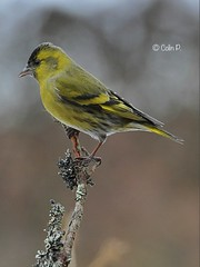 Siskin ( Male )   Carduelis spinus Explore 22nd March # 397 (Col-page) Tags: