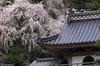 Cherry Blossoms at a temple place 寺の桜 (Masashi bon) Tags: flower japan cherry temple blossom ngc 日本 sakura shimane 寺 島根県 gotsu allxpressus 江津市