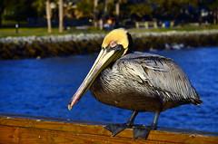 Saint Simons Island, GA 016 (VinceFL) Tags: sunset lighthouse nature nikon ship pelican manfrottotripod afsdxnikkor18105mmf3556gedvr tamronaf7030mmf456dildtelephotomacrolens saintsimonsislandga nikond7000 vincefl