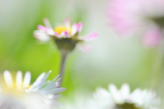 In Spring (Tinina67) Tags: france flower field garden spring day wiese daisy tina blume bellis gnseblmchen gers perennis tinina67