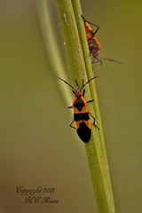 Milkweed Bug at Mill Creek Marsh in Secaucus NJ (Meadowlands) (takegoro) Tags: creek insect milkweedbug marsh nature wildlife meadowlands mill nj secaucus
