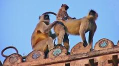 INDIEN, historisches Orchha, Hanuman-Languren auf der Palastspitze, 14107/6959 (roba66) Tags: travel india tourism animal animals monkey tiere reisen asia asien fort urlaub visit palace explore ape baboon creature primate apes indien palast tier inde voyages affe jahangir orchha jehangir northernindia tikamgarh rajamahal monkys pradesh roba66 languren madhya indiennord indienhistorischesorchha hanumanlanguren