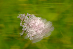 Pink in the light (Richie Rue) Tags: nikond300 outdoors flowers flora pink impressionism impressionist impressions abstract nature