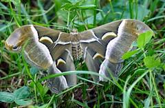 ....un incontro che mi ha regalato una grande emozione (M a r i S ) Tags: samiacynthia saturniidae moth giantmoth falenegiganti ailanthussilkmoth saturniidmoth female farfallagigante  italy bombicedellailanto lumixfz1000 filosamia hank you thank