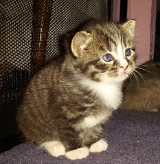 So cute... (christianiani) Tags: animal cute kitten cat pet sweet tiny fluffy fur face photograph photography photo capture paws whiskers ears nose