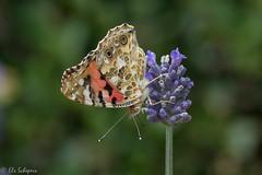 IMG_4907 (ElsSchepers) Tags: limburglavendel lavendelhoeve stokrooie kuringen hasselt natuur vlinders