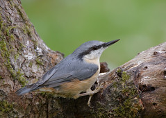 Nuthatch-7997 (Kulama) Tags: nuthatch birds nature wildlife woods westsussex summer canon7d sigma150600c563