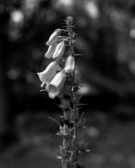 Foxglove (Hyons Wood) (Jonathan Carr) Tags: abstract abstraction landscape rural northeast 4x5 5x4 largeformat black white bw monochrome bokeh toyo wildflower foxglove ancient woodland