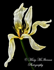 Shines On (Mary McIlvenna Photography) Tags: flora flowerart tulippurissma tulips flower floralart cream yellow dying withering fading