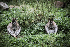 Lounging Around (rhystabor) Tags: relaxed lounging wallaby friends zoo nature natural comfortable comfort sitting