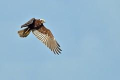 Female Marsh Harrier (Ady G.) Tags: bif raptor marshharrier wildlife bird 500f4 canon somersetlevels 1d4