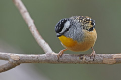 Spotted Pardalote (Vas Smilevski) Tags: spottedpardalote pardalote pardalotuspunctatus pardalotidae birds bird birding feathers wildlife avian animals australianbirds australia nsw nature ngc m43 getolympus olympusomdem1 mzuiko300mmf4pro omd em1 300mm olympus olympusau olympusinspired