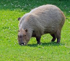 Foraging Capybara (dlberek) Tags: capybara turtlebackzoo