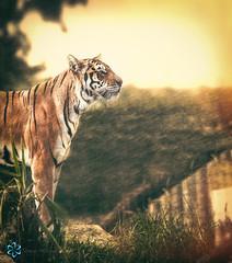 Tiger (Shaun Wilkinson Photography) Tags: tiger shaunwilkinson shaunwilkinsonphotography esso essotiger