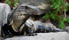 Iguana (littlestschnauzer) Tags: iguana mexico nature animal reptile lizard 2016 summer nikon d7200 scales skin renew wildlife